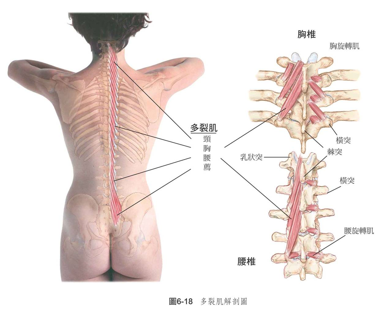 颈椎胸椎腰椎示意图