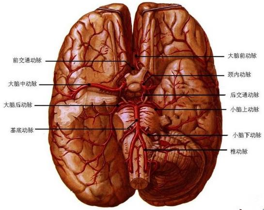大脑前动脉解剖图谱