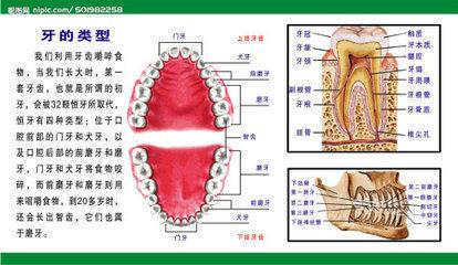 牙齿结构图_中国医科大学附属口腔医院李硕